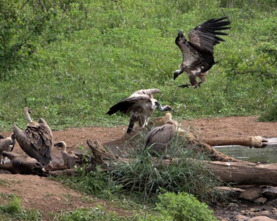Vultures on giraffe carcass at Wildebeest dam by Teich Teichman