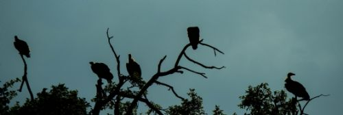 Vultures silhouetted on river drive by Jason Truscott