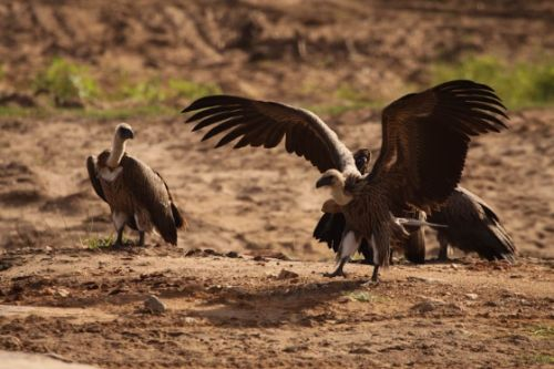 Vultures sunning by Graham Benfield