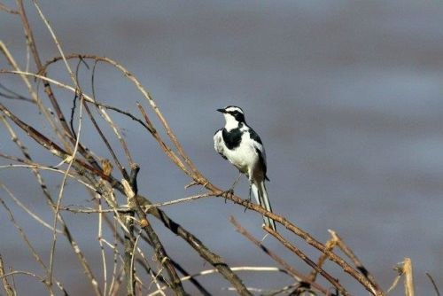 Wagtail on River Drive by Simon B19