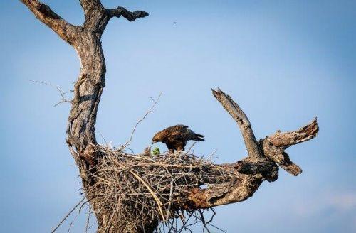 Walhberg Eagle and Chick at B4 by Dan B33