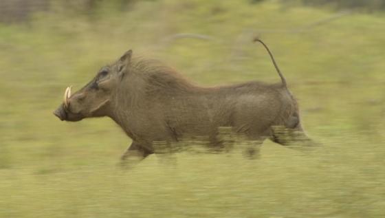 Warthog by Kit B8