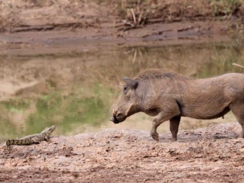 Warthog confronting baby crocodile by Nic Holzer
