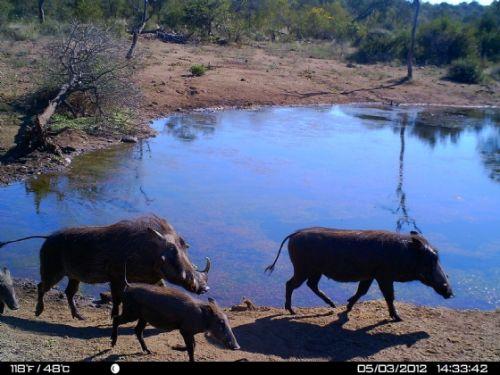 Warthog family at Wildebeeste dam