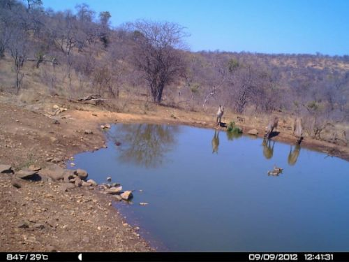 Waterbuck and Egyptian geese at Kudu Pan