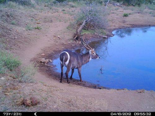 Waterbuck bull at Wildebeeste dam