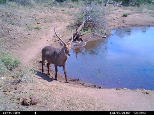 Waterbuck bull at Wildebeeste dam 2