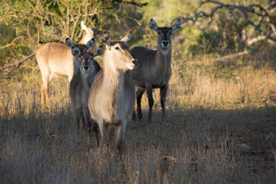 Waterbuck by B36