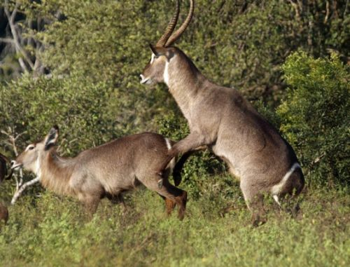 Waterbuck mating by Nic Holzer