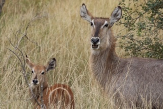 Waterbuck mom and calf by Kenny B7