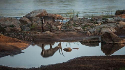 Waterbuck reflections by Eileen Fletcher