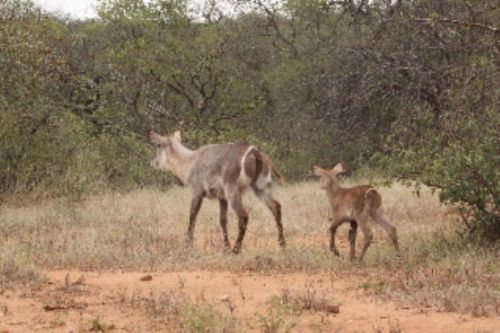 Waterbuck with new calf by Graham Benfield