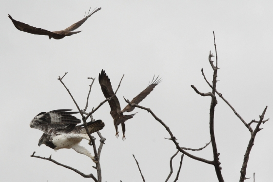 Whalbergs eagles chasing Martial at Ebony crossing by Chelsea B1