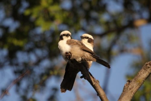 White Crowned Shrikes by Graham Benfield
