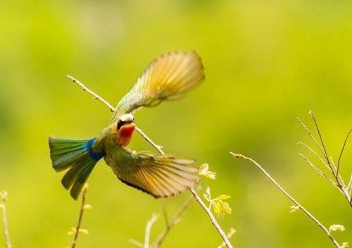 White Fronted Bee Eater by John B35