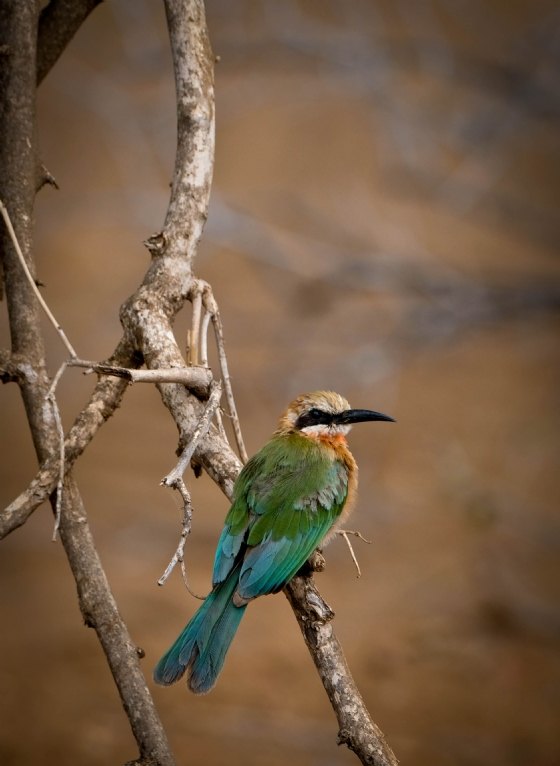 White Fronted Bee-eater by Dan B33