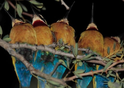 White Fronted Bee eaters roosting in Camp by Danny Shaw
