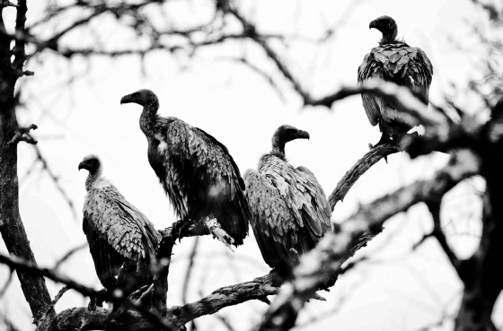 White backed vultures by Dan B33