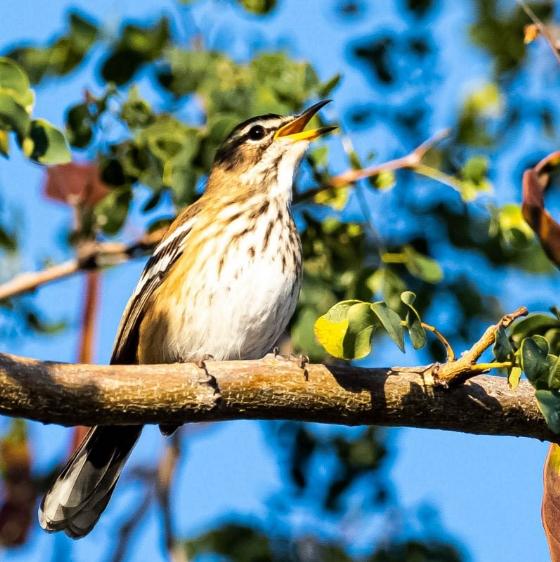 White browed scrub robin by John B35