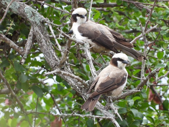 White crowned shrikes by Roy A8