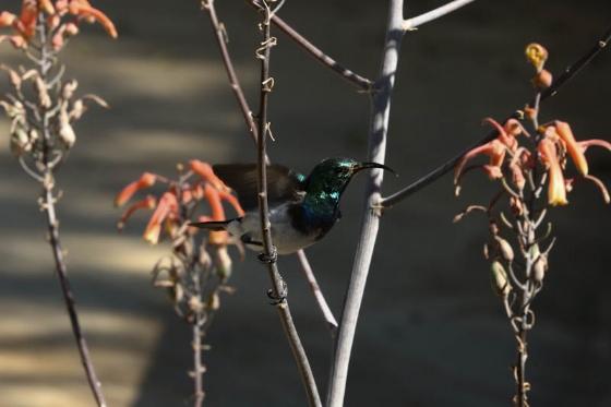 Whitebellied Sunbird by Mally Cox