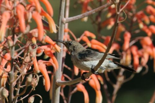 Whitebellied sunbird in aloes at office by Simon Leppard