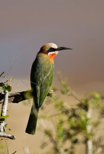 Whitefronted Bee Eater by Manuel Lopes 2