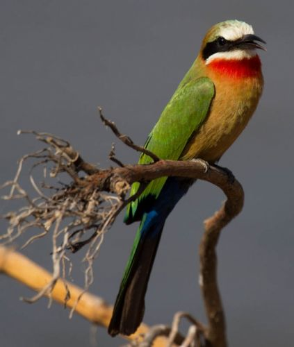 Whitefronted Bee-eater by Jason Truscott