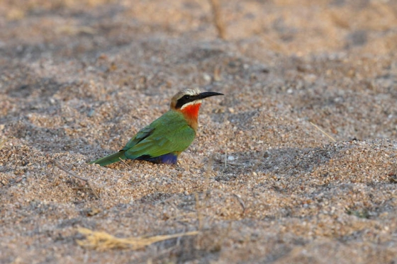 Whitefronted Bee-eater by Simon Leppard