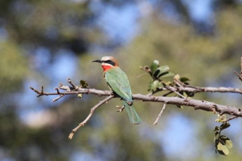 Whitefronted Bee eater by Simon Leppard