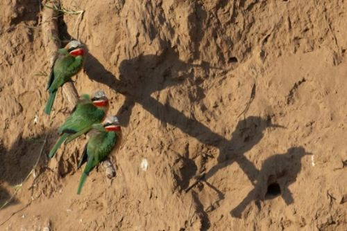 Whitefronted Bee-eaters at causeway by Andrew Hrabar
