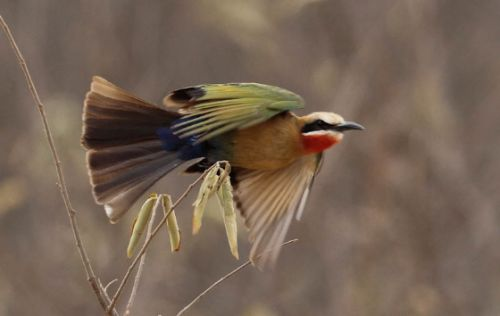 Whitefronted bee-eater by Simon Leppard 2