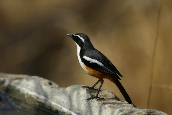 Whitethroated robin by Mally Cox