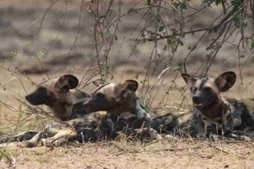 Wild Dog Pack at Big Dam by Eileen Fletcher
