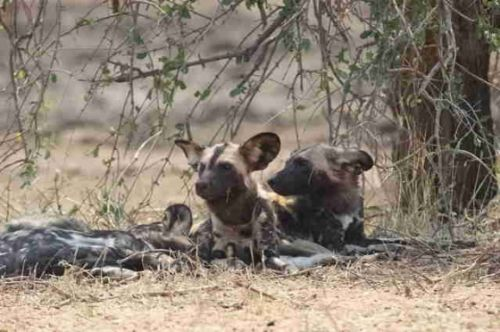 Wild Dog at Big Dam by Eileen Fletcher 2