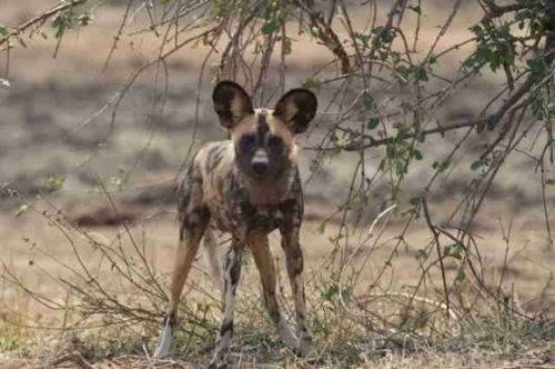 Wild Dog at Big Dam by Eileen Fletcher