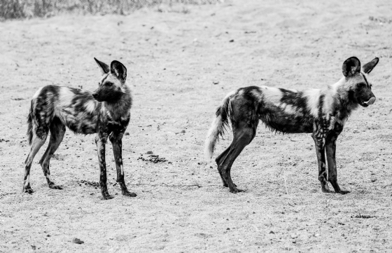 Wild Dog at Nkonkoni Dam 2 by Dan B33