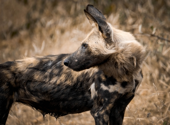 Wild Dog at Nkonkoni Dam by Dan B33