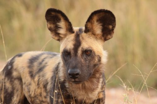 Wild Dog at Sable Dam ORGR taken by Graham Benfield in April