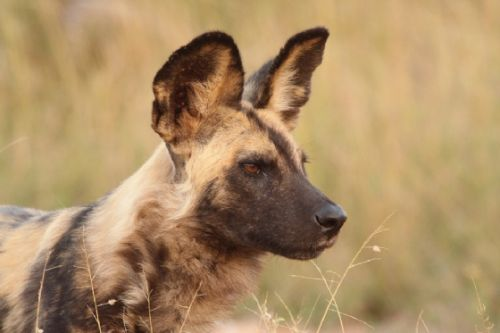 Wild Dog by Graham Benfield