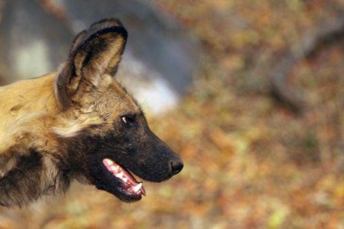 Wild Dog by Nic Holzer 2