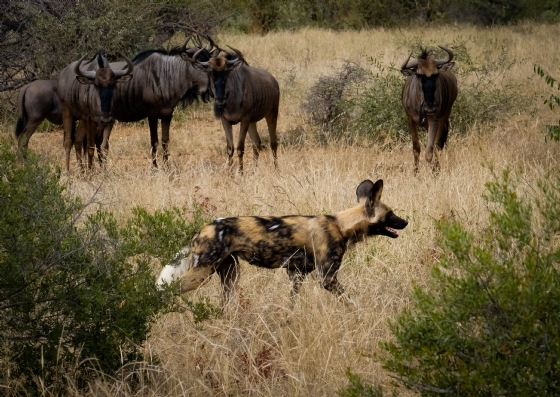 Wild Dog on Buff Plains 2 by Dan B33