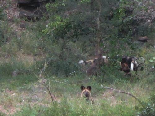 Wild dog Sedumoni crossing by Anita