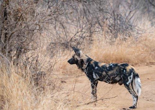 Wild dog alert by John B35