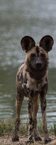 Wild dog at Sable dam by Eileen Fletcher 2