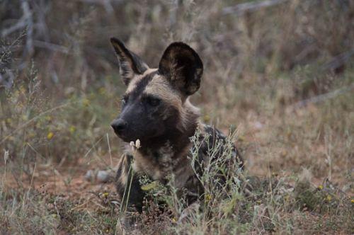 Wild dog at Sable dam by Eileen Fletcher