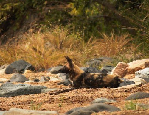 Wild dog at Sedumoni Crossing by Danny Shaw