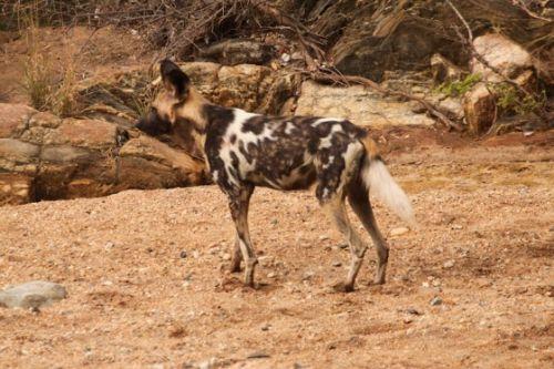 Wild dog at Sedumoni Crossing by Graham Benfield