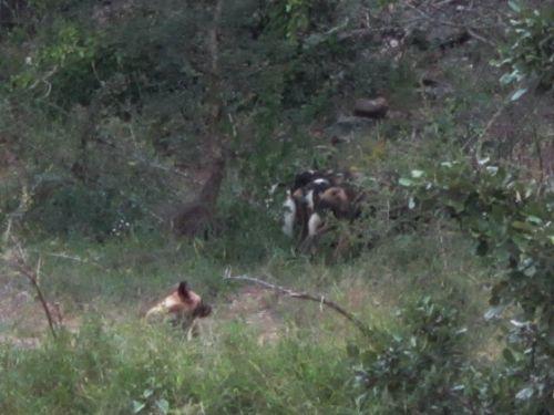 Wild dog at Sedumoni crossing by Anita