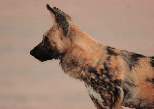 Wild dog by Danny Shaw